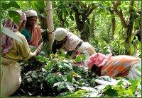 История культивирования кофе в Индии