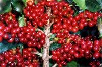 Региональные разновидности кофе в Индии