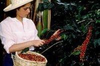 История культивирования кофе в Колумбии